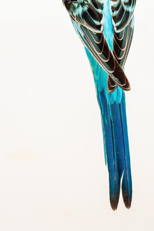 Parakeet Tail