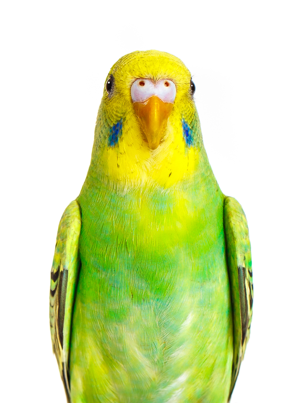 green and yellow parakeet front