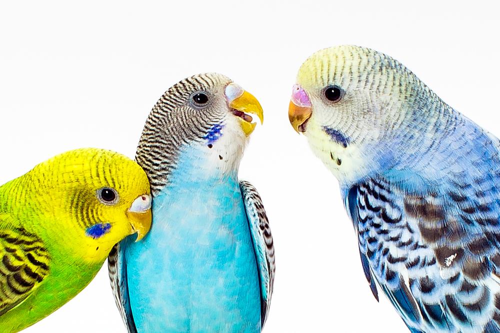 Three parakeets