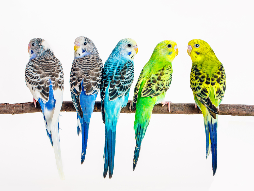 Parakeets on a branch