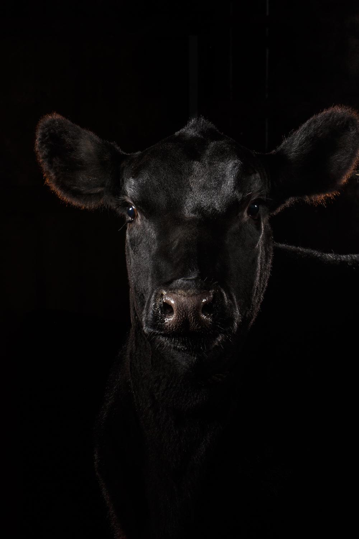 Black-Angus-Heifer-14300-sp-.jpg