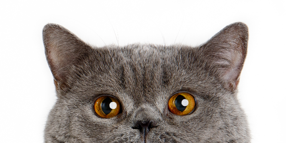 British-Shorthair-Cat-Blue-peek-0328-sp-.jpg
