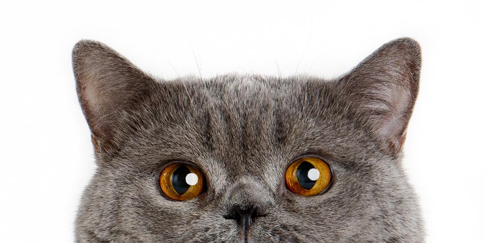 British-Shorthair-Cat-Blue-peek-0328-sp-.jpg