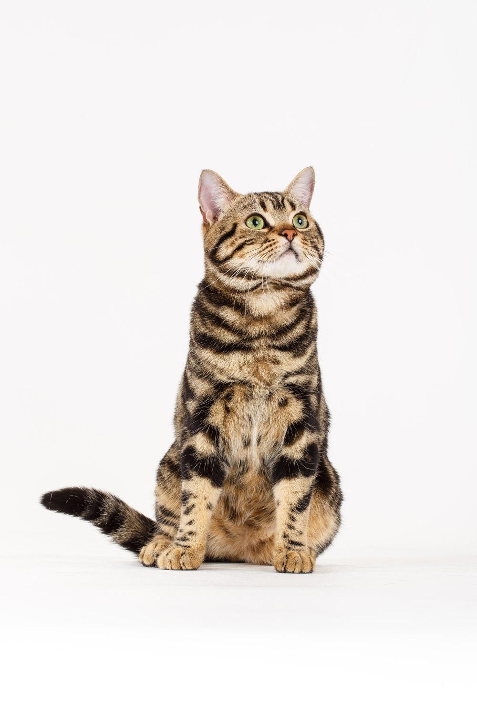 Brown-Tabby-American-Shorthair-Cat-sp-8549.jpg