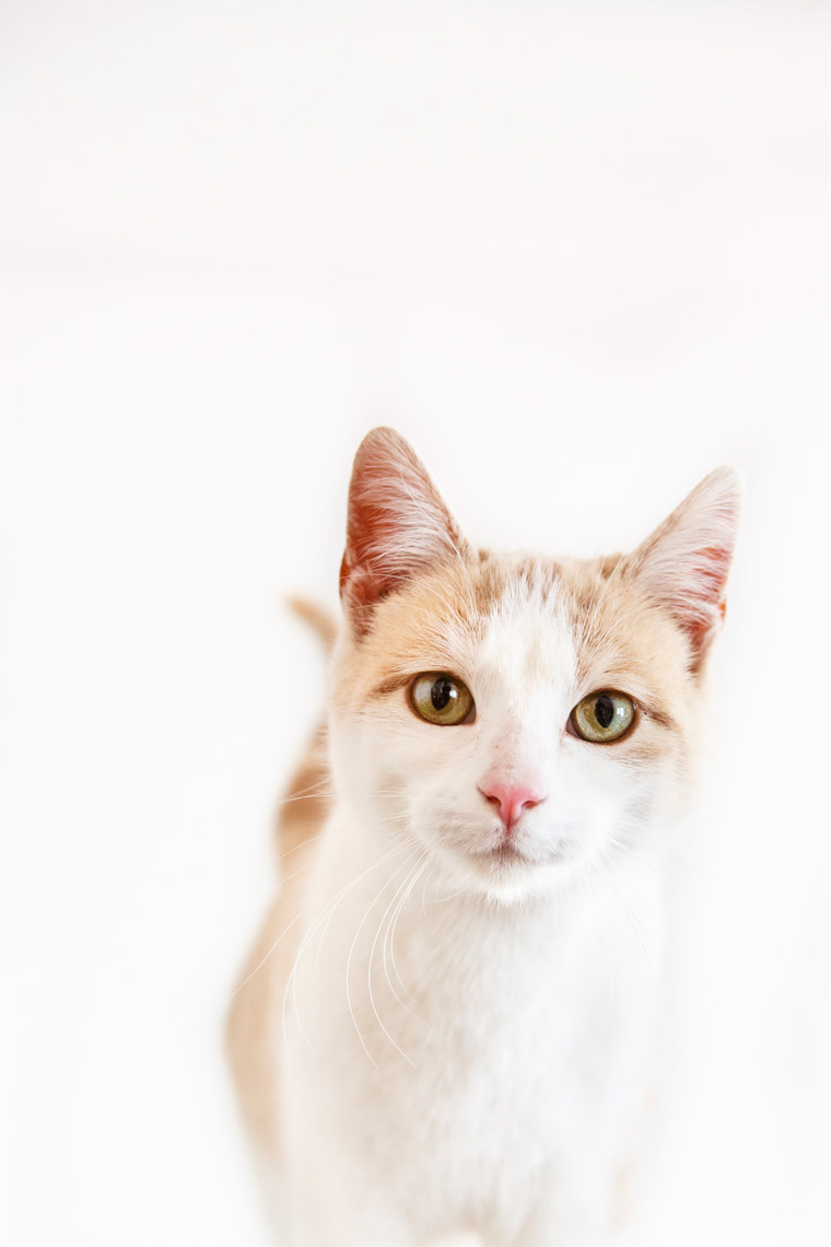 Tan-and-White-Cat-Killwilly-2243-apf.jpg