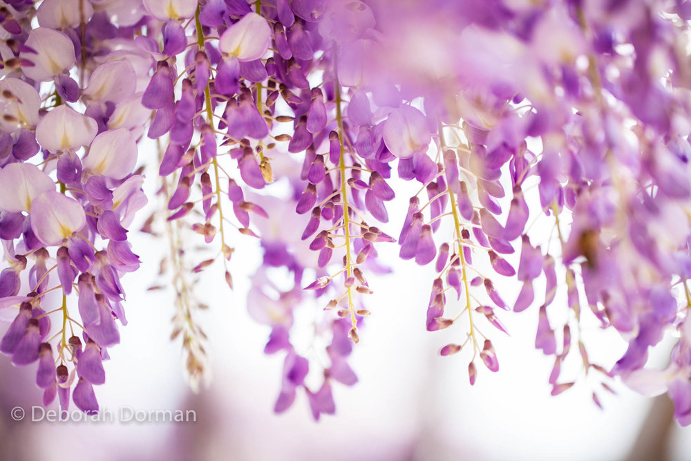 Wonderful Wisteria. Photographed in Canberra during the Floriade Festival, 2015