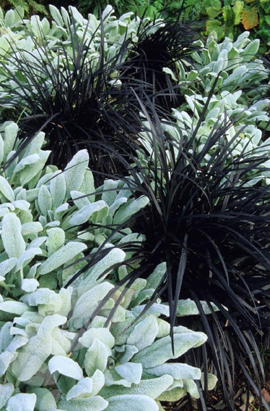 nigrescens - black mondo grass . black, narrow leaves with delicate spikes of mauve,  berry to black - looks particularly dramatic with other grey foliages.  full sun or partial shade enjoys moist, well-drained, slightly acidic soil. flowering in  June to August - fully hardy