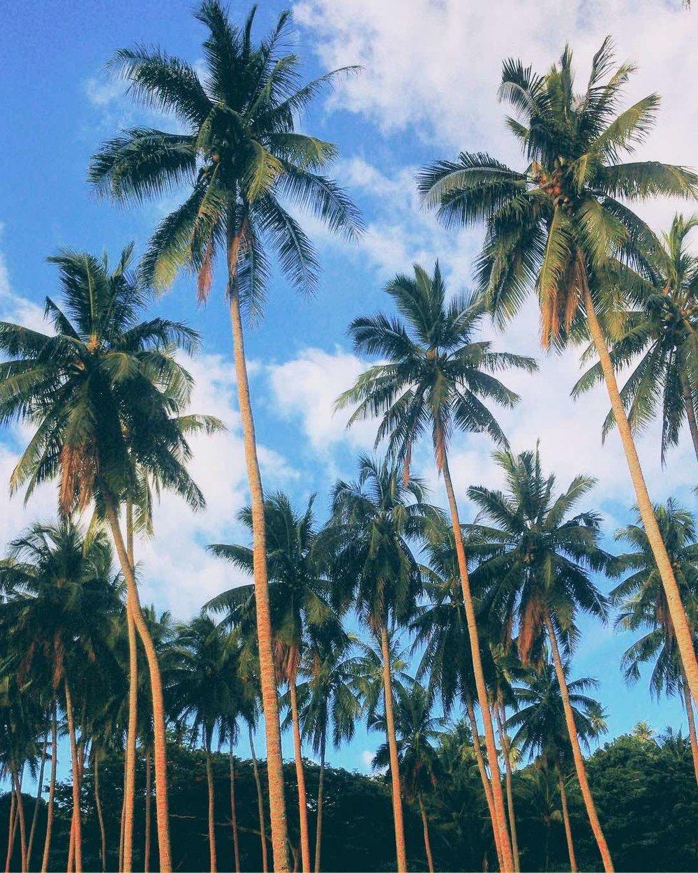 Palm trees at Taveuni Island, Fiji