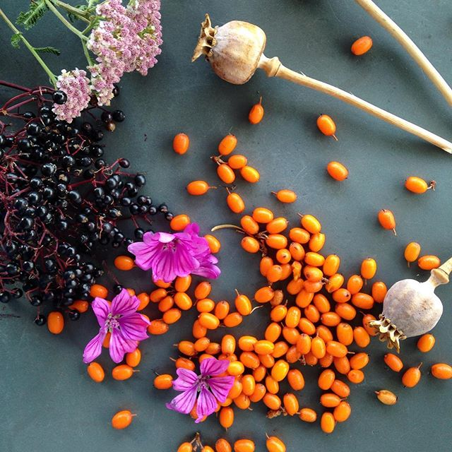 Passed by #MableyGreen and found these beauties. #seabuckthorn (couldn't wait until they're fully ripe) #elderberries #mallow & #yarrow flowers - @hedgeherbs quick syrup for prosecco cocktails for your garden feast?