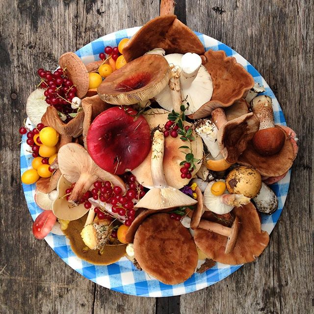 Today's harvest. These are just the mushrooms growing in the garden. Can't wait to go to the woods. Can we please keep having autumn straight till spring?  #wildfood #mushrooms #idontwanttodiejustyet #cranberries #cherryplums #currants