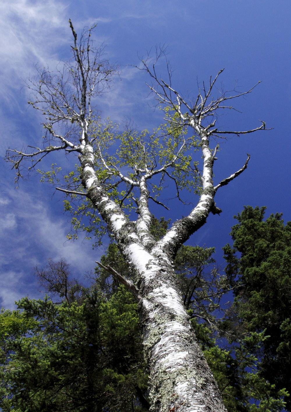 """Wood, Leaves + Trees #9  """"Suplication"""" Deer Isle, Maine"""