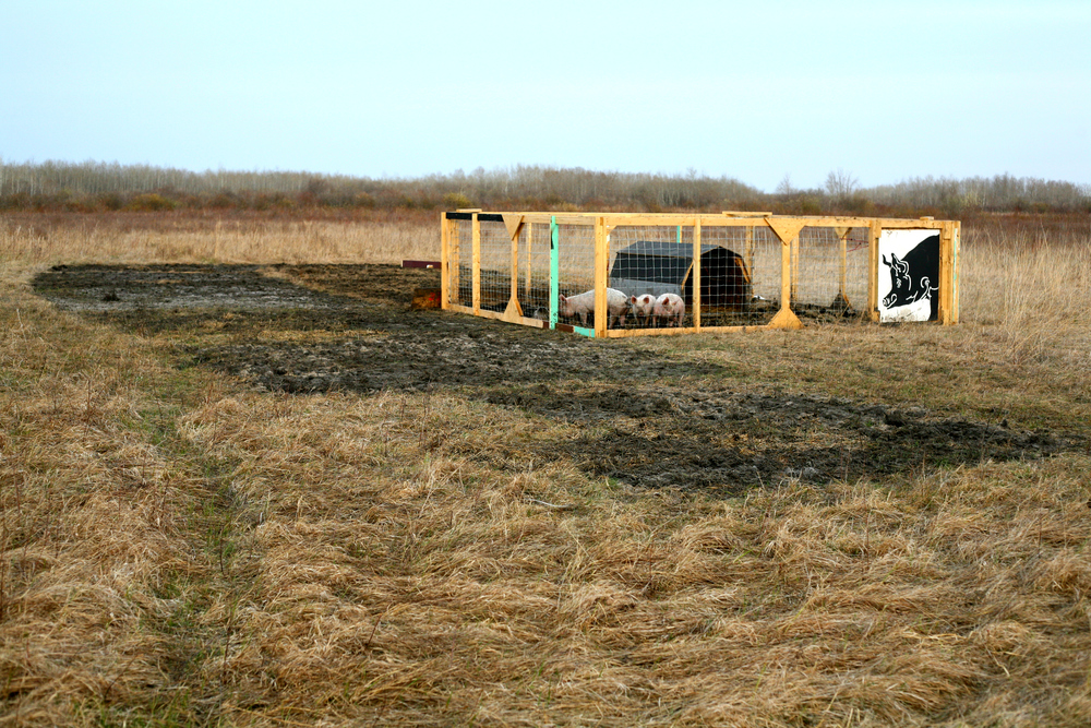 Our portable pig pen and our pastured pigs.