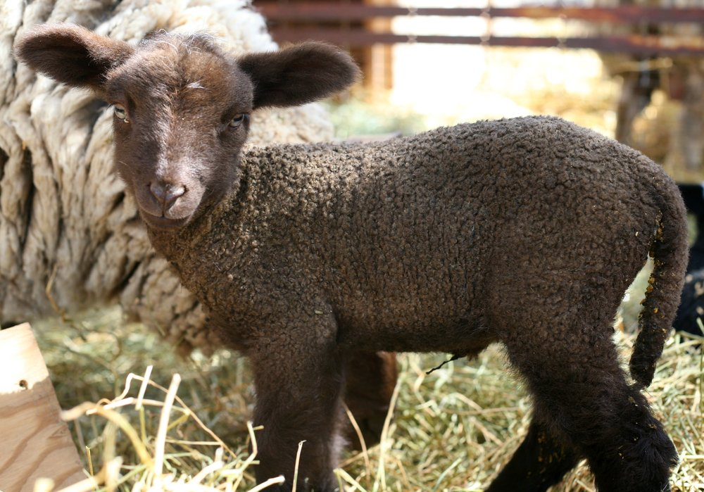 This little girl was the first baby lamb born on the farm May 1, 2017! She came out and bonded with her mama immediately and within minutes was trying to stand up! She is a merino/cotswald cross with a beautiful chocolate brown fleece and the biggest ears!