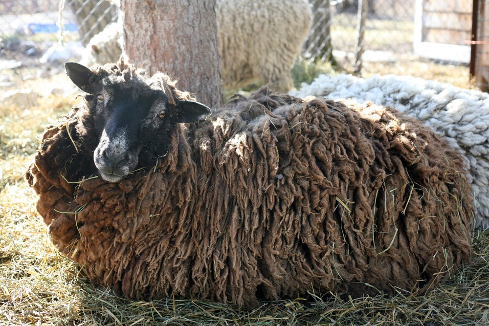 This Merino Ram is 6 years old, a strong yet gentle ram. He loves chin scratches and always greets me in the morning.  He is a cross of Merino/Cotswold/tunis. And has beautiful silvery cinnamon brown fleece with a long staple.