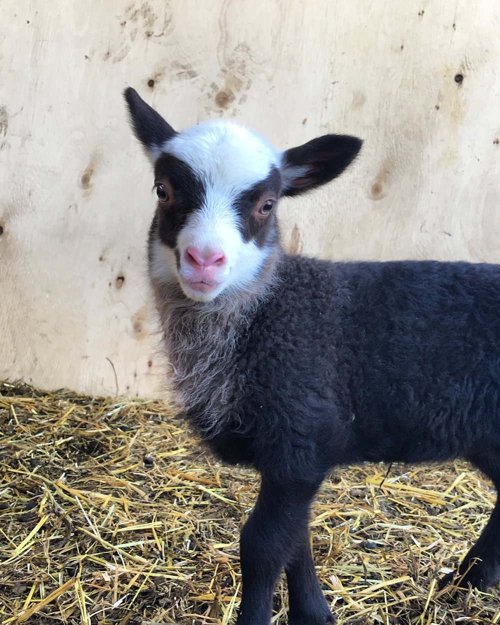 This ewe lamb was born on May 15, 2018 weighing 2.5kg. Her mother is Erica and the sire is Muddy, both are purebred shetland sheep. She has a twin brother. We have nicknamed her brown beard for the time being because of the beautiful patch of grey/brown fleece down her neck. She has beautiful fleece and we love that she is carrying on her mother's eye-patches.