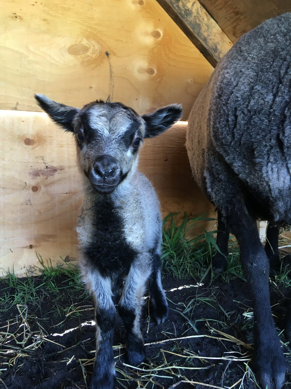 This ewe lamb was born on May 24, 2018 weighing 2. kg. Her mother is Bryn and the sire is Muddy, both are purebred shetland sheep. She has a twin sister, with a lighter brown face. She was much larger than her sister when she was born, but is much more timid than her sister. She hides behind Bryn and is the hardest one for me to take photo's of. Her fleece is beautiful and I look forward to watching it develop this year!