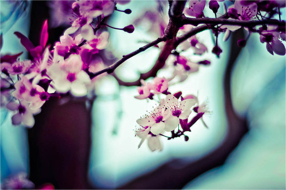 Stunning Sakura in Japan