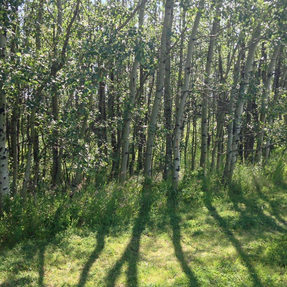 Aspen Forest in Alberta