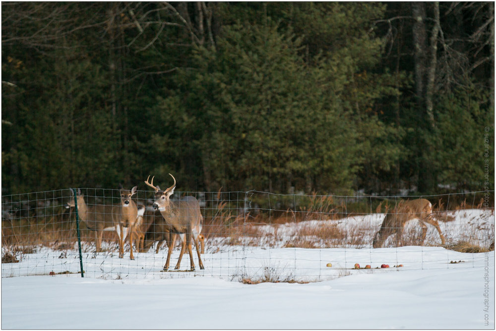 Deer gathered at sunset in Standish, Maine