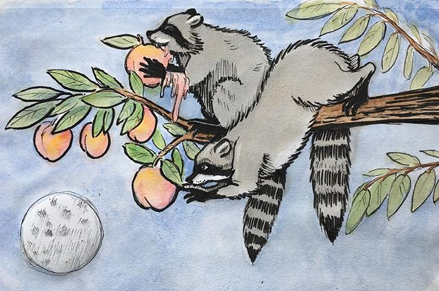 "Created for Inktober last year but never posted. The prompt was ""juicy"" and depicted little bandits stealing peaches. #inktober, #penandink, #watercolor, #racoons, #childrensbookillustration  @ketoile, did explore said concept. 😉"