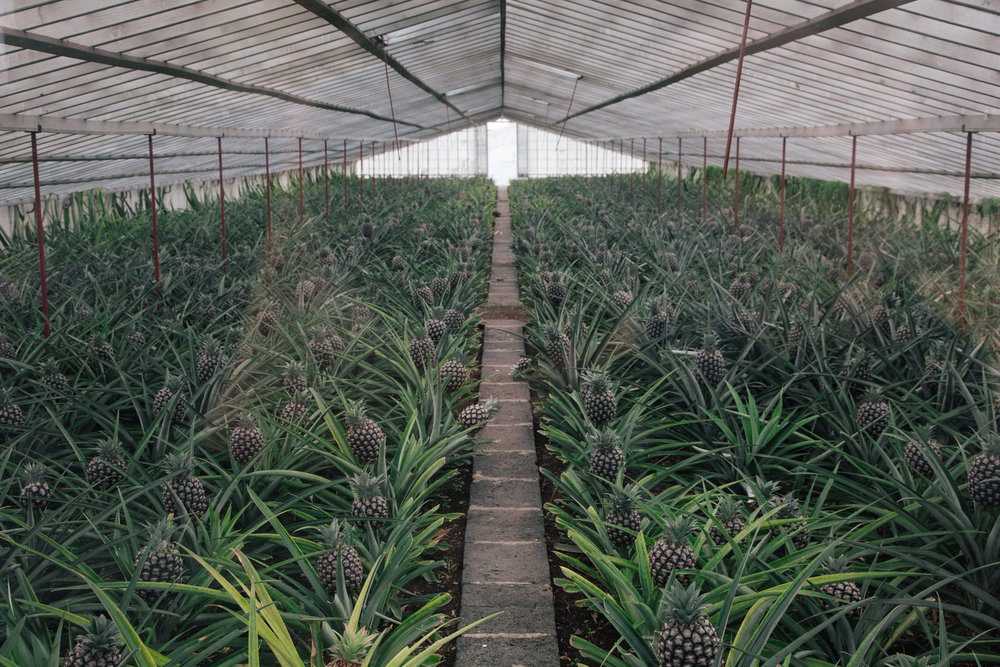 Pineapple greenhouses on São Miguel island, The Azores