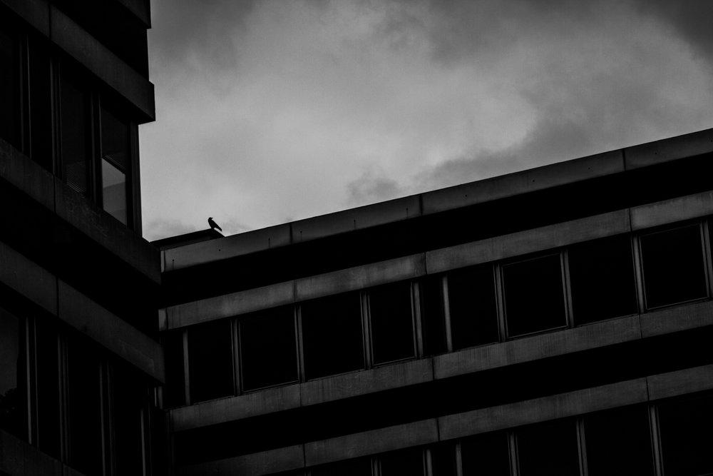- Mort sur la ville -     Corneille noire