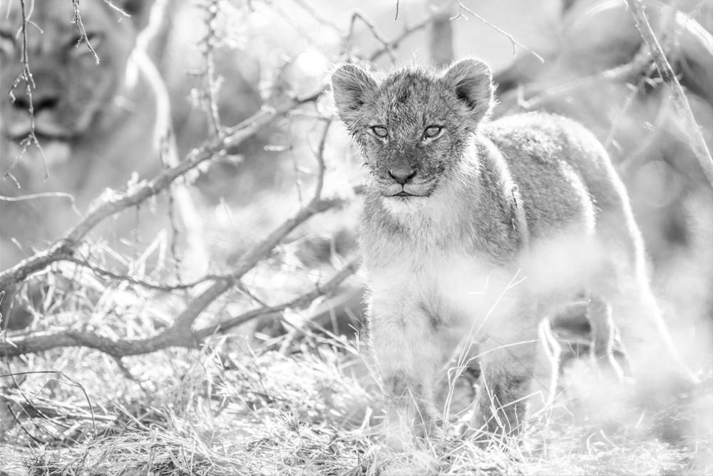 Lionceau et lionne