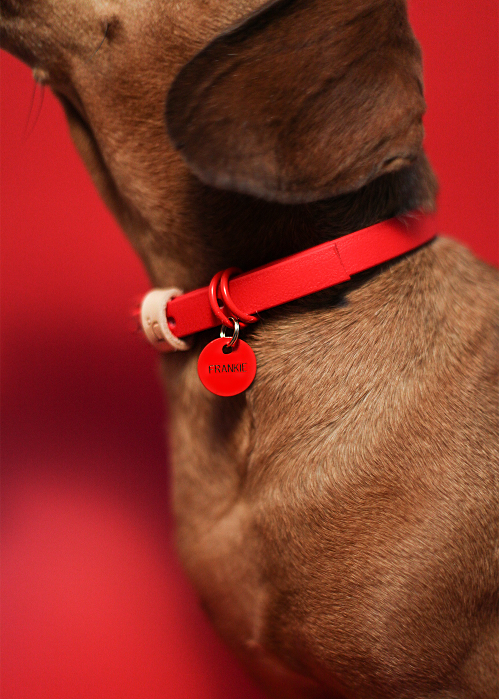 Frankie wearing the red biothane collar and custom ID tag
