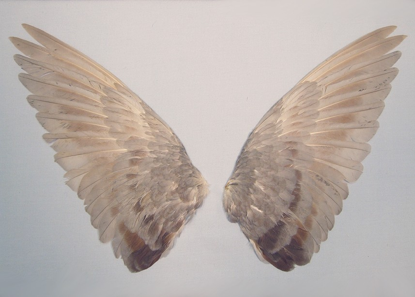 sexgrips: i like how these are arranged, it looks more like they had a vision of these wings affixed to a human's back and not the way it would look if a bird were taking flight