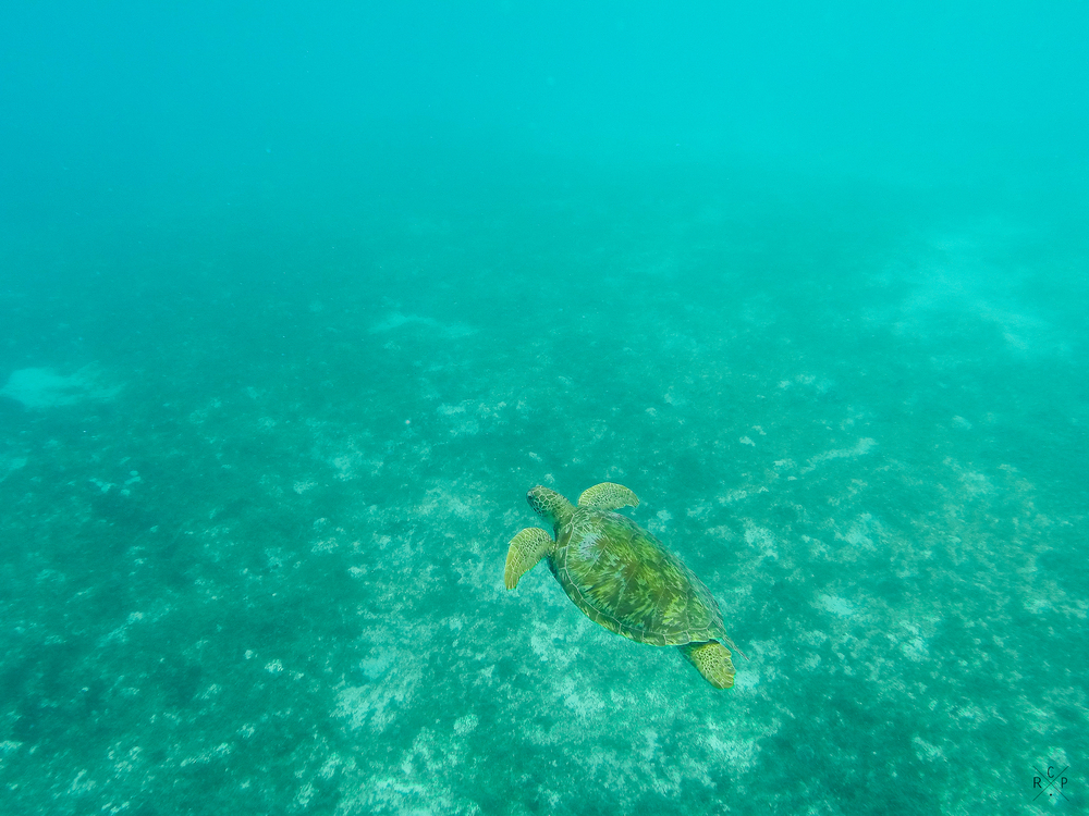 Green Sea Turtle 1 - Tobago Cays, St. Vincent & The Grenadines  14/02/2016
