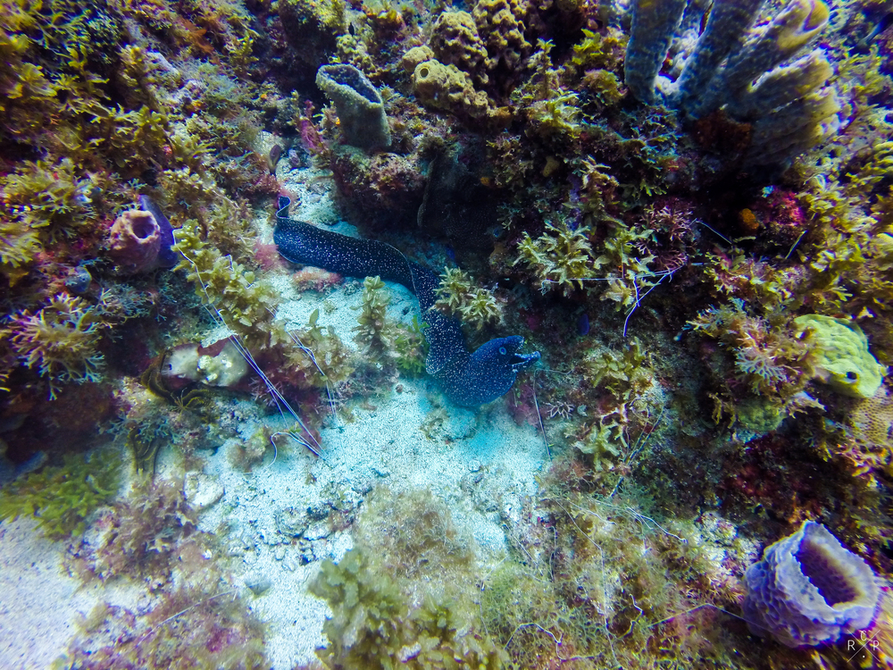 Spotted Moray Eel - Anse D'Arlets, Martinique 02/03/2016
