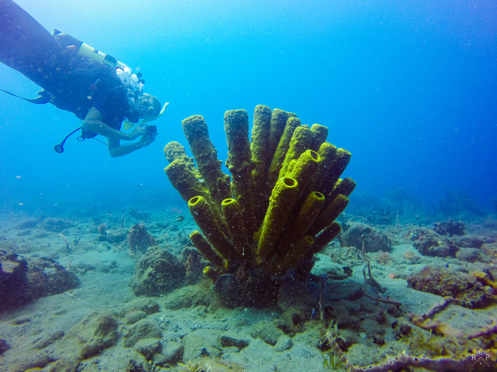 Yellow Tube Sponge - Saint Pierre, Martinique, 05/03/2016