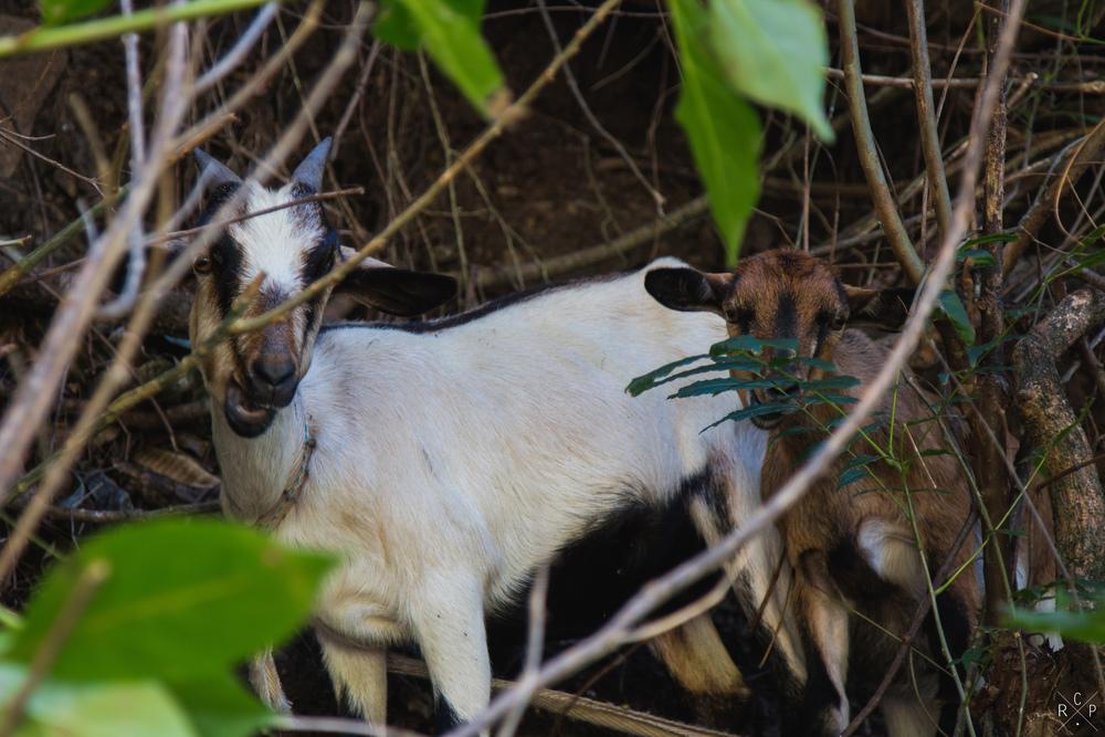 Ivan & Brenda The Goats - Pitons Bay, St. Lucia 29/01/2016