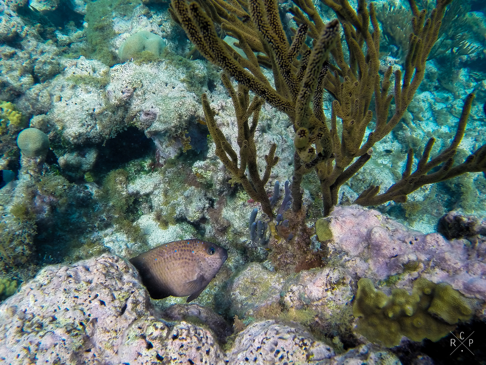 Yellow Tail Damselfish - Tobago Cays, St. Vincent & The Grenadines 14/02/2016