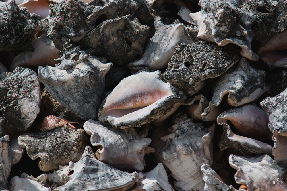 Conch Shells 3 - Tobago Cays, St. Vincent & The Grenadines 13/02/2016