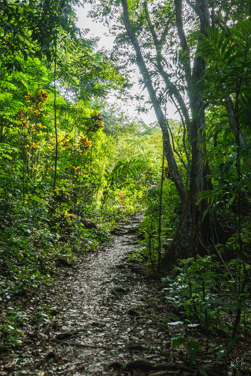 Jungle Path - Indian River, Portsmouth, Dominica 10/03/2016