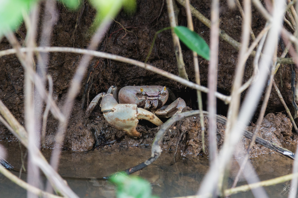 Mud Crab 2 - Indian River, Portsmouth, Dominica 10/03/2016