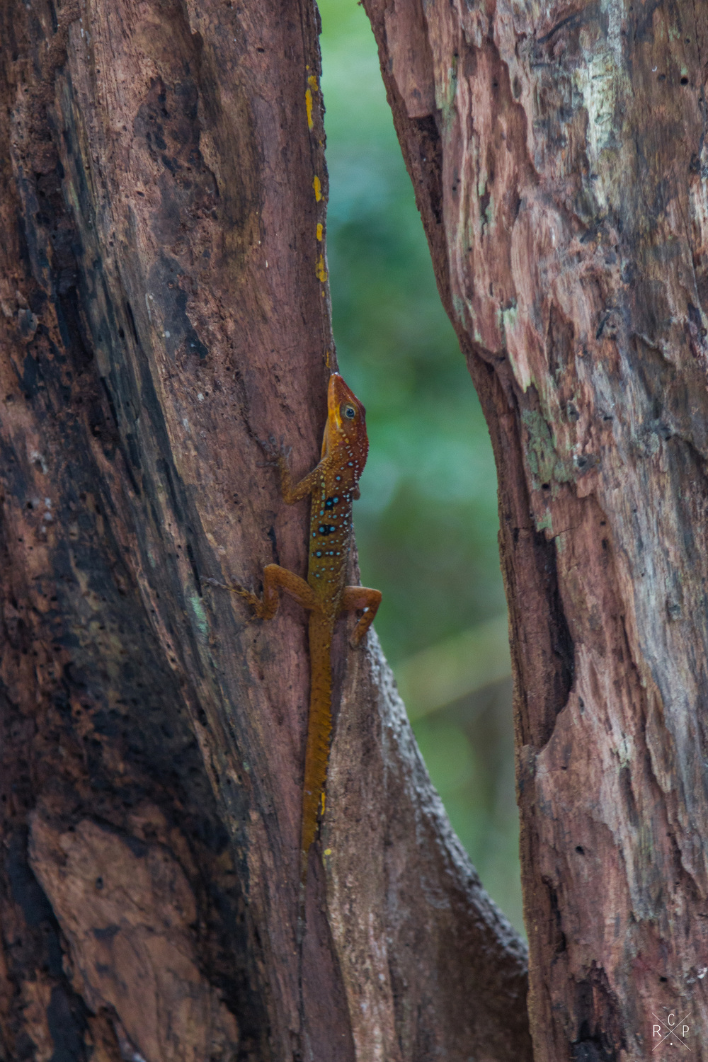 Chill Lizard - Indian River, Portsmouth, Dominica 10/03/2016