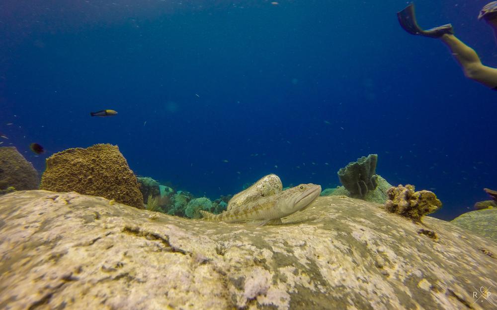 Sand Diver - Isles D'Saintes, Guadeloupe 16/03/16