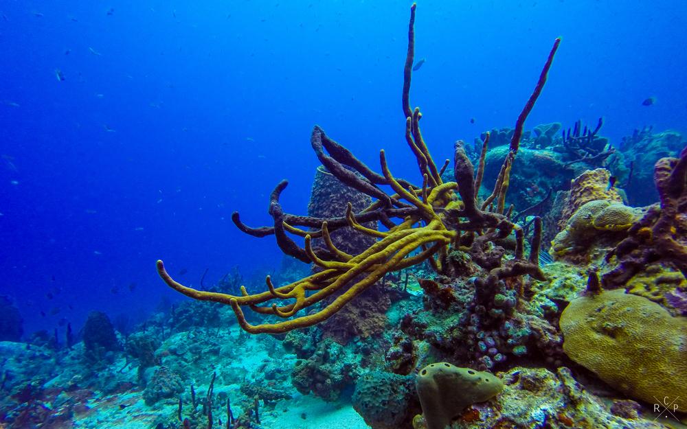 Coral - Isles D'Saintes, Guadeloupe 16/03/16