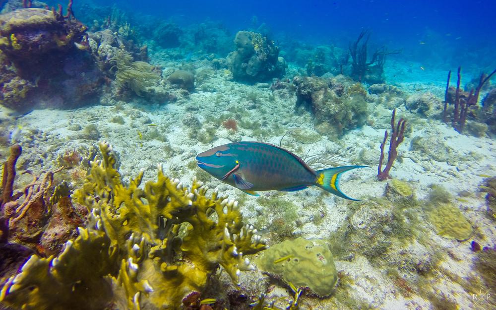 Parrotfish - Jacque Cousteau Reserve, Guadeloupe 18/03/16