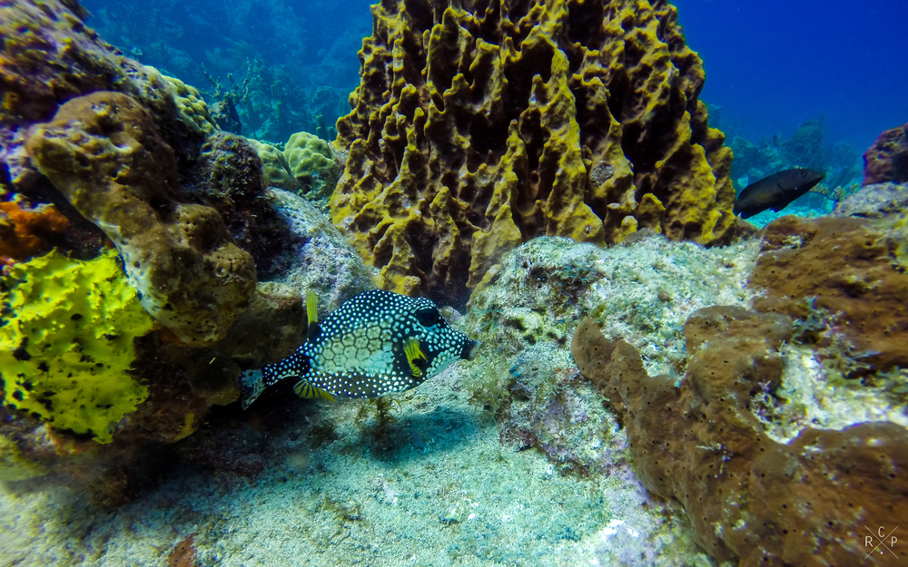 Smooth Trunkfish - Jacque Cousteau Reserve, Guadeloupe 18/03/16
