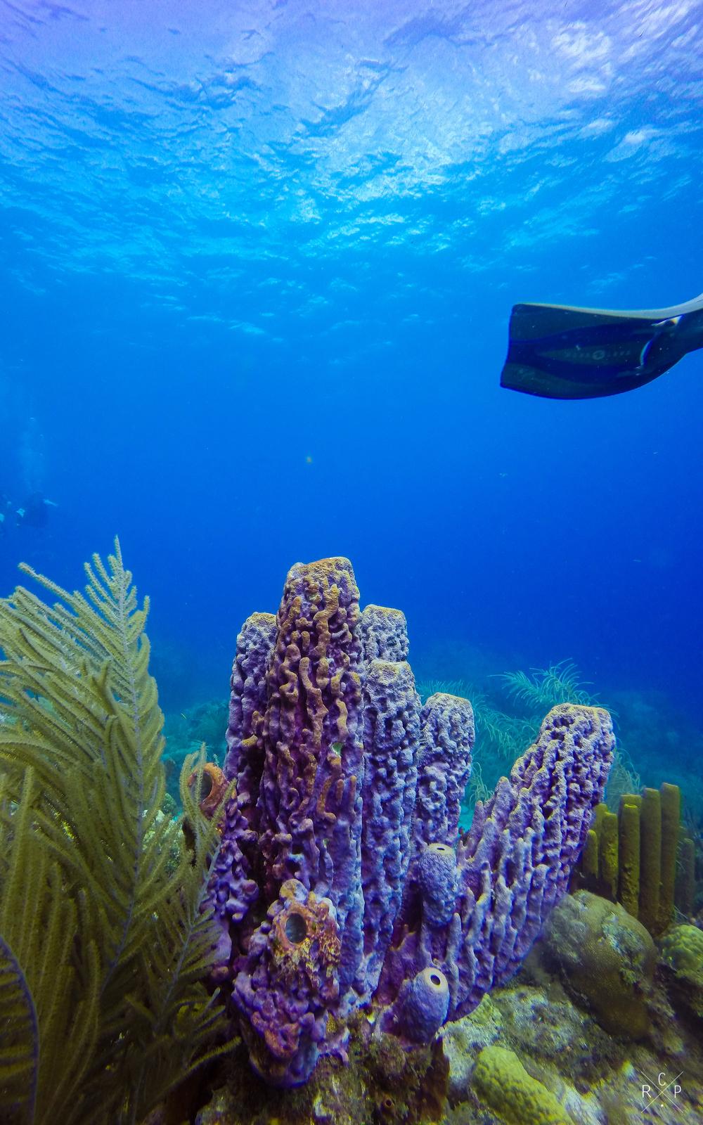 Purple Vase Coral - Jacque Cousteau Reserve, Guadeloupe 20/03/16