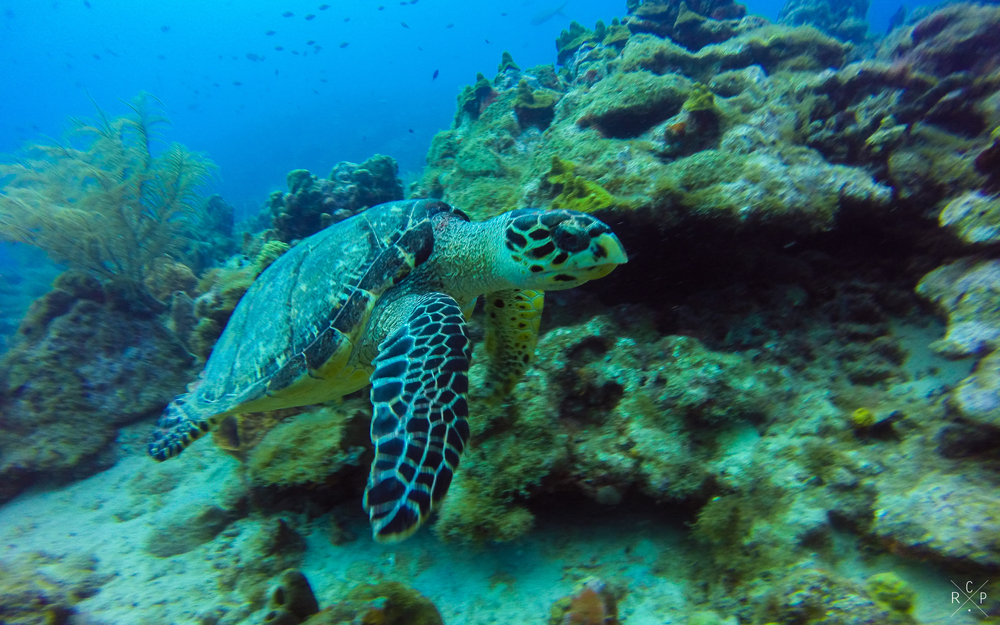 Tommy Turtle 1 - Jacque Cousteau Reserve, Guadeloupe 20/03/16