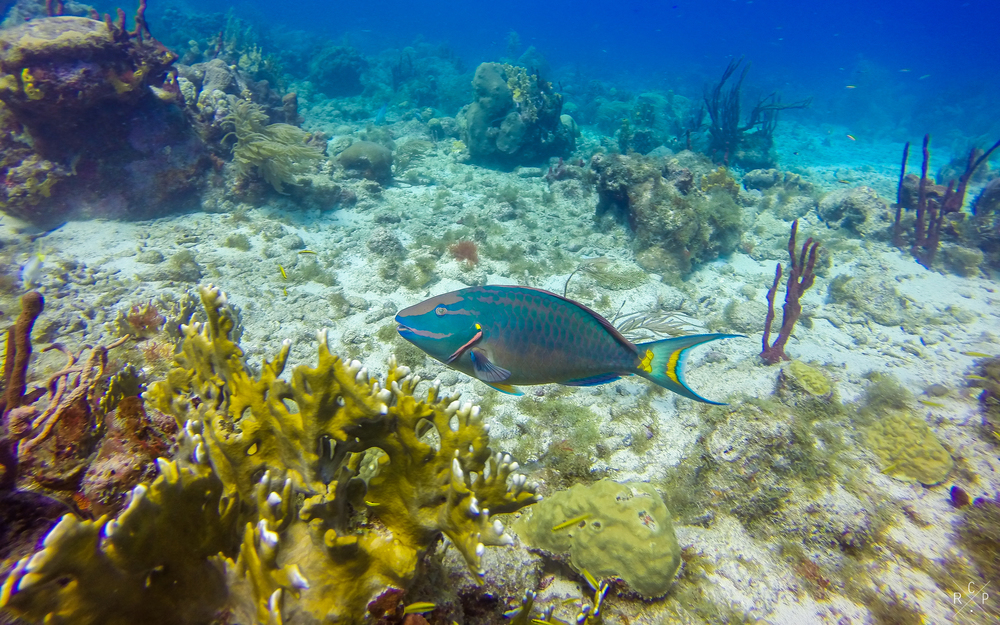 Parrotfish - Jacque Cousteau Reserve, Guadeloupe 18/03/2016