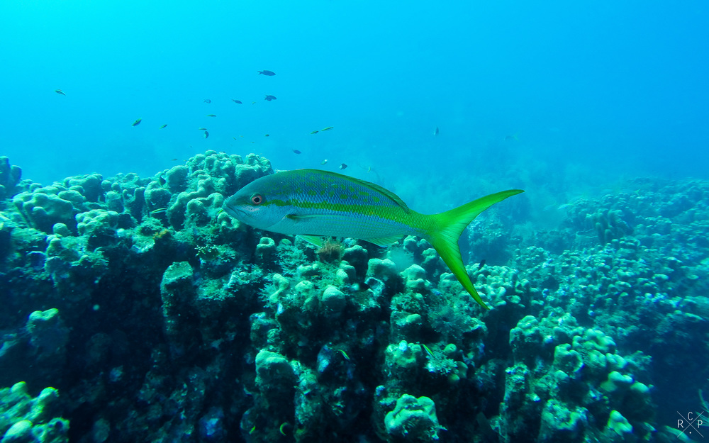 Yellowtail Snapper - La Piscine, Jacque Cousteau Underwater Reserve, Guadeloupe 11/04/2016