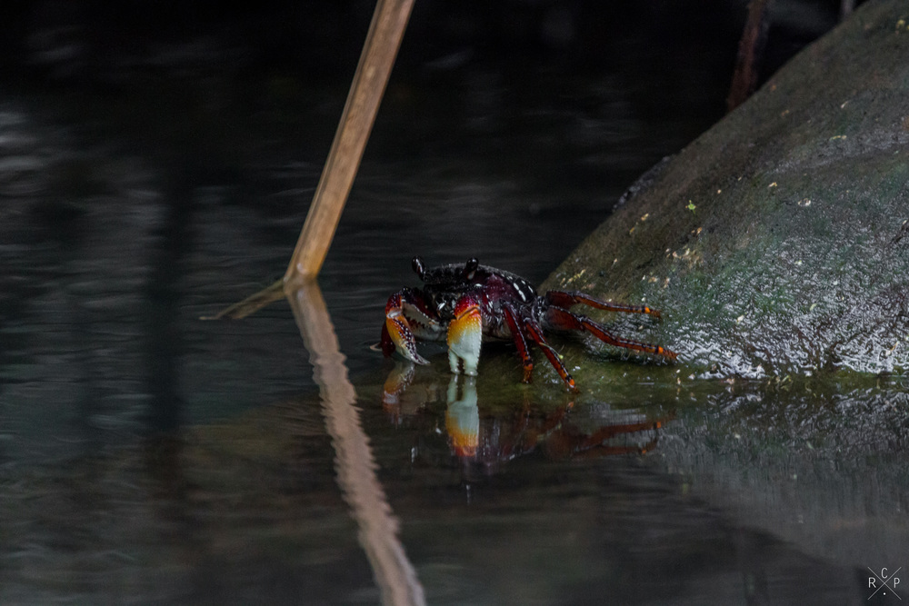 Land Crab - Indian River, Portsmouth, Dominica 15/04/2016