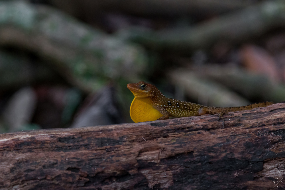 Lenny Lizard 1 - Indian River, Portsmouth, Dominica 15/04/2016