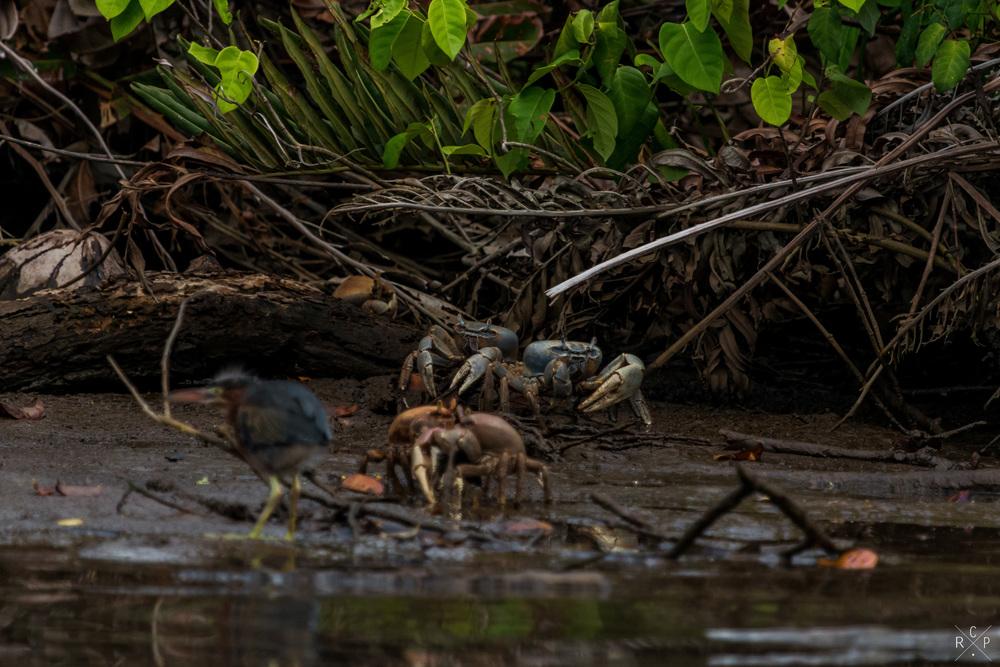 Land Crabs & Heron - Indian River, Portsmouth, Dominica 15/04/2016