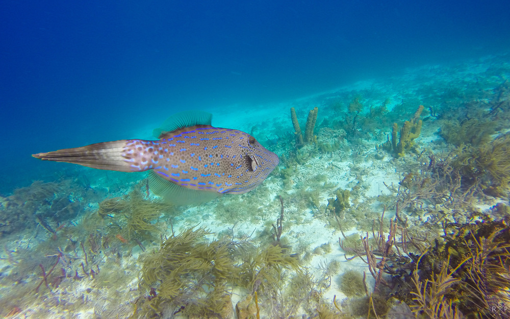 Scrawled Filefish 2 - Sandy Island, Carriacou, Grenada 11/05/2016